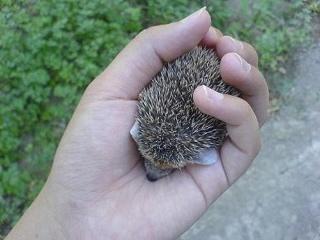 baby hedgehog 1