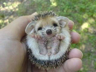 baby hedgehog 3