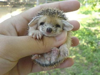 baby hedgehog 4