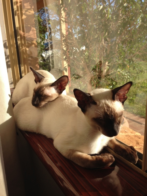 Milo and Bailey Siamese cats