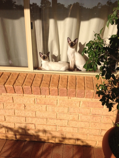 Siamese cats sun baking in window